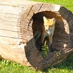 foxfolk_f01