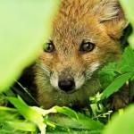 foxfolk_f02