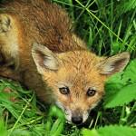 foxfolk_f03
