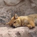 foxfolk_f04
