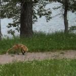 foxfolk_f05