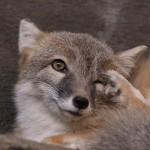 foxfolk_f07