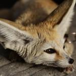 foxfolk_f08