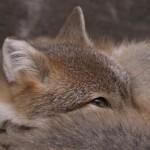 foxfolk_f09