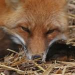 foxfolk_f10