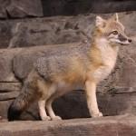 foxfolk_f11