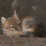 foxfolk_f12