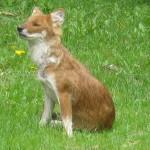 foxfolk_f13