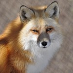 foxfolk_f13a