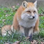 foxfolk_f14