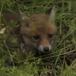 foxfolk_f15