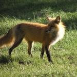foxfolk_f16