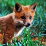 foxfolk_f18