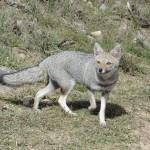foxfolk_f19
