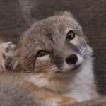 foxfolk_f21