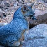 foxfolk_f22