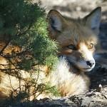 foxfolk_f23